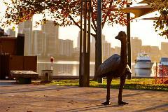 Promenading Emus